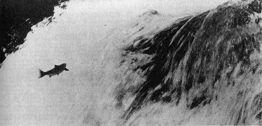 Forelle im Bergbach